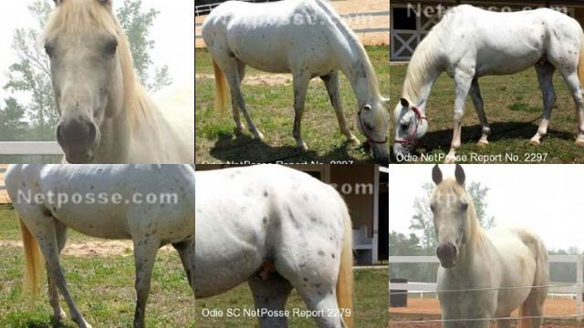 Odie went missing between Wednesday and Thursday from Sassy Stables in Woodruff. (Source: netposse.com)