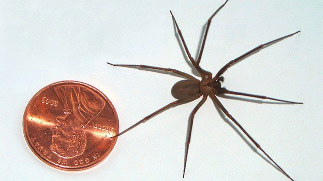 A large brown recluse compared to a US penny. (Source: Wikimedia Commons)