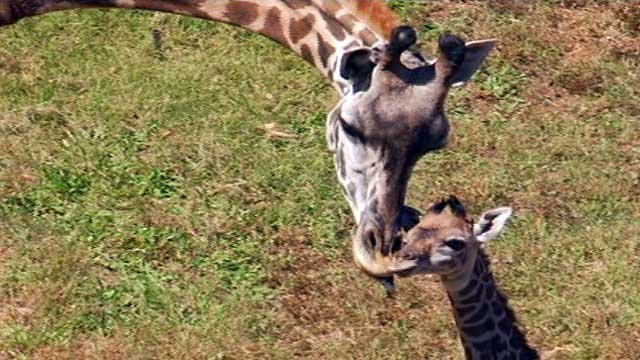Autumn the giraffe with her first calf Kiko not long after his birth. (File/FOX Carolina)