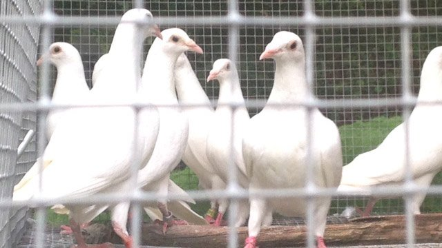 Several of Gaunt's doves. (Aug. 6, 2014/FOX Carolina)