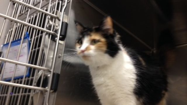 Sally the cat at Greenville County Animal Care
