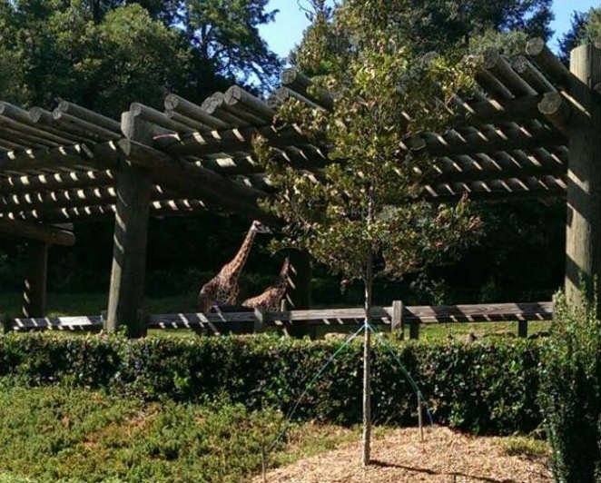 Tree planted in memory of Roho (Courtesy: Greenville Zoo/ Facebook)