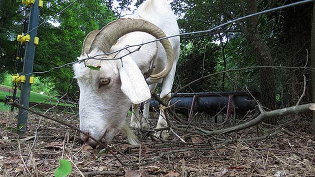 One of the weed-eating goats at work. (Source: Clemson University)