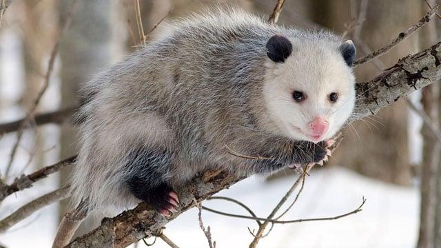 A North American opossum. (Source: Wikipedia/Cody Pope)
