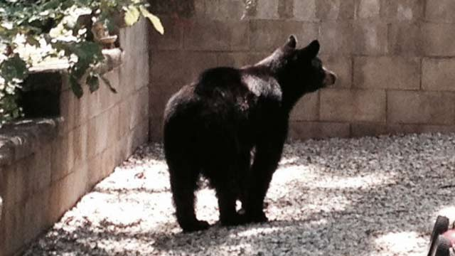 bear spotted in greer backyard wfxg fox 54 news now