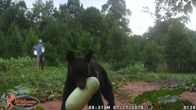 Bear eating watermelon.