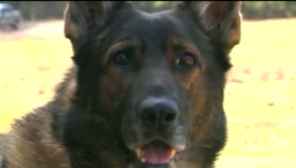 K-9 officer Hyco was killed in the line of duty. (file/FOX Carolina)