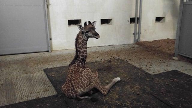 Tatu was born Feb. 2 at Greenville Zoo. (Source: Greenville Zoo)