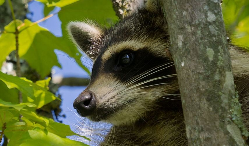 Raccoon spotted in maple tree in Caldwell County, NC (Source: Ken Thomas/ Wikimedia)