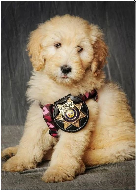 GCSO's therapy dog, Willow (Source: GCSO)